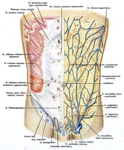 anatomy_zolotko