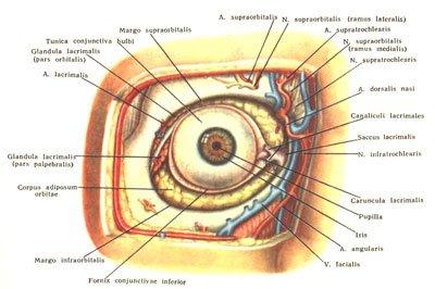 anatomy and topographic anatomy