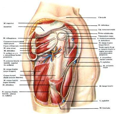 art topographic anatomy